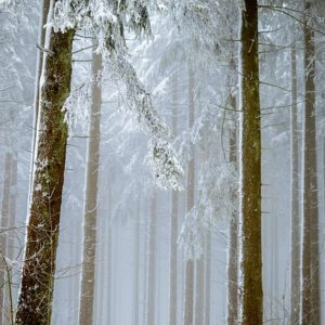 Лес в снегу. Фото: pixabay.com.